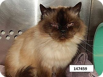 Himalayan Cat for adoption in THORNHILL, Ontario - Praline