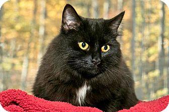 Domestic Mediumhair Cat for adoption in Cashiers, North Carolina - Bianca