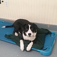 Border Collie Mix Dog for adoption in Augusta, Georgia - Simon