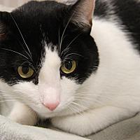 Domestic Shorthair Cat for adoption in Marietta, Ohio - Mason (Neutered)-New Photos