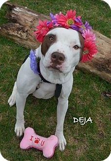American Pit Bull Terrier Dog for adoption in Independence, Missouri - Deja