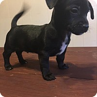 Adopt A Pet :: Clove - Paprika Pup - Encino, CA