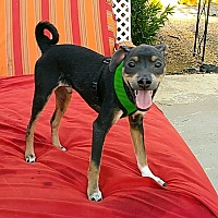 Mixed Breed (Small) Mix Puppy for adoption in Las Vegas, Nevada - Linus