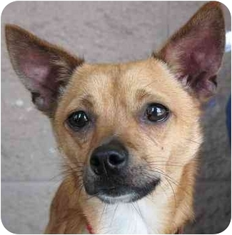 Chihuahua Mix Dog for adoption in Vista, California - Lefty