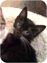 Domestic Shorthair Kitten for adoption in Tampa, Florida - Rafiki
