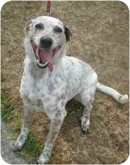 Australian Cattle Dog/Greyhound Mix Dog for adoption in Franklin, Virginia - Izzy