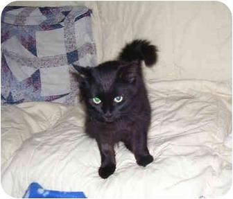 Domestic Shorthair Cat for adoption in Okotoks, Alberta - Sooty