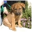 Photo 1 - Shepherd (Unknown Type) Mix Puppy for adoption in Berkeley, California - Red