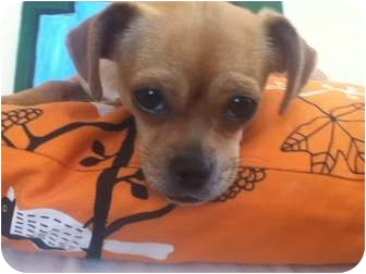 Chihuahua/Pug Mix Puppy for adoption in Los Angeles, California - Ruthy