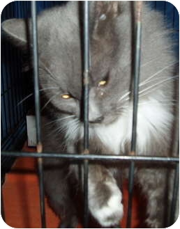 Domestic Shorthair Cat for adoption in Westfield, Massachusetts - Precious