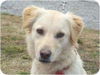 Golden Retriever/Labrador Retriever Mix Dog for adoption in Harrisonburg, Virginia - Luke