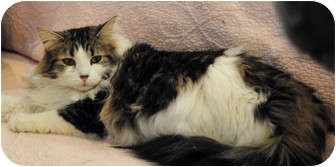 Maine Coon Cat for adoption in Palmdale, California - Maddie
