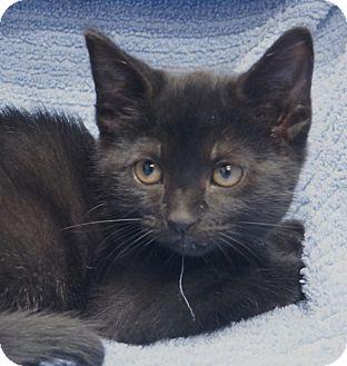 Domestic Mediumhair Kitten for adoption in Houston, Texas - GTO