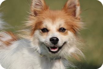 Pomeranian Mix Dog for adoption in Broomfield, Colorado - Apple