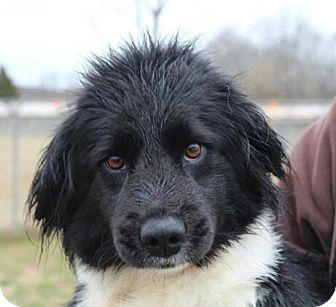 Border Collie Mix Dog for adoption in Spring Valley, New York - Macie