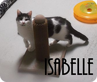 Domestic Shorthair Cat for adoption in Franklin, North Carolina - ISABEL