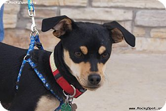 Chihuahua Mix Dog for adoption in Newcastle, Oklahoma - William Shakespeare (Willie)