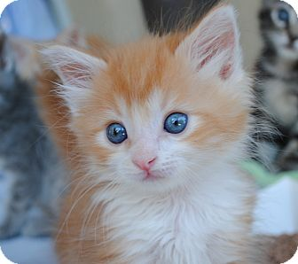 Domestic Mediumhair Kitten for adoption in Palmdale, California - Connor (aka Little Orange Boy)