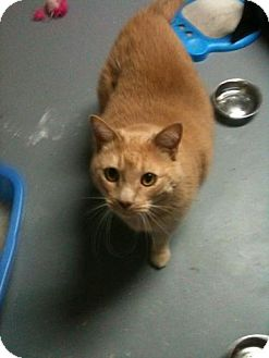 Domestic Shorthair Cat for adoption in Louisville, Kentucky - ROSCOE