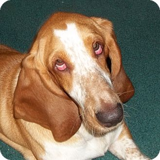 Basset Hound Dog for adoption in Smithfield, North Carolina - Piper