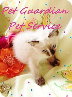 Birman Kitten for adoption in Virginia Beach, Virginia - GiGi & Gena