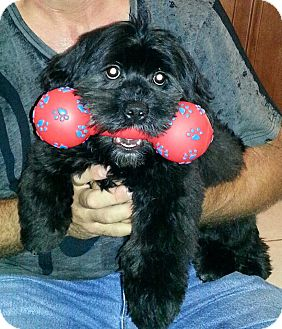 Shih Tzu/Miniature Poodle Mix Puppy for adoption in Pembroke pInes, Florida - SPARKY
