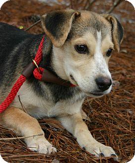 Beagle/Shepherd (Unknown Type) Mix Puppy for adoption in Pinehurst, North Carolina - Bentley