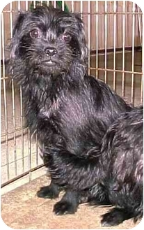 Lhasa Apso/Terrier (Unknown Type, Small) Mix Puppy for adoption in North Judson, Indiana - Harriet