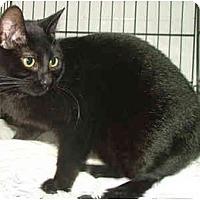Adopt A Pet :: Shiva - Dallas, TX