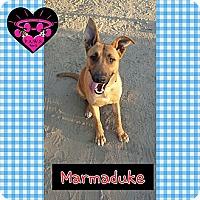 Adopt A Pet :: Marmaduke - Fowler, CA