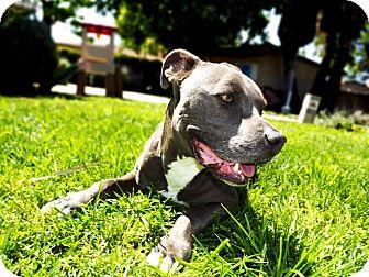 Pit Bull Terrier Dog for adoption in Santa Ana, California - Gunner