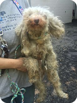 Poodle (Miniature)/Maltese Mix Dog for adoption in Oak Ridge, New Jersey - Angelina-NEGLECTED:(