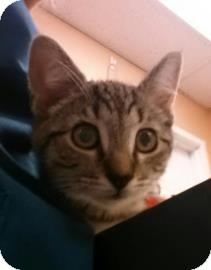 Domestic Shorthair Kitten for adoption in Reisterstown, Maryland - Scottie