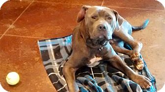 Mastiff Mix Dog for adoption in knoxville, Tennessee - TBONE