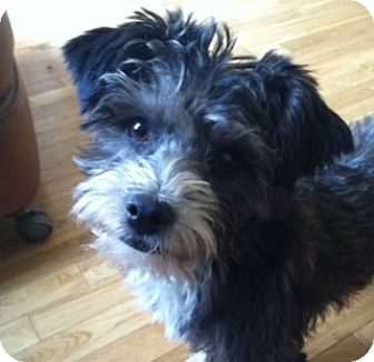 Poodle (Miniature)/Terrier (Unknown Type, Small) Mix Dog for adoption in Irvine, California - SUSIE (Adoption pending)