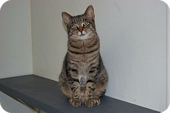 Domestic Shorthair Cat for adoption in Martinsville, Indiana - Ranjita