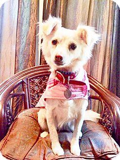 Spaniel (Unknown Type) Mix Dog for adoption in San Diego, California - TINKERBELL