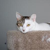 Domestic Shorthair Cat for adoption in Alpharetta, Georgia - Tory