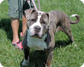 Pit Bull Terrier/Mastiff Mix Dog for adoption in Manahawkin, New Jersey - Max