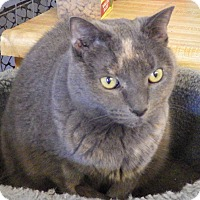 British Shorthair Cat for adoption in Quail Valley, California - Pixie (declawed)