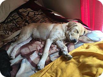 Labrador Retriever/Golden Retriever Mix Dog for adoption in Brookeville, Maryland - Gretchen