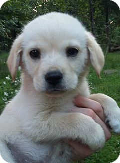 Spaniel (Unknown Type)/Labrador Retriever Mix Puppy for adoption in SOUTHINGTON, Connecticut - Trent
