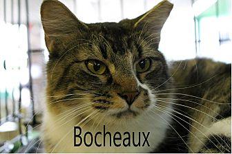 Domestic Longhair Cat for adoption in Wichita Falls, Texas - Bocheaux