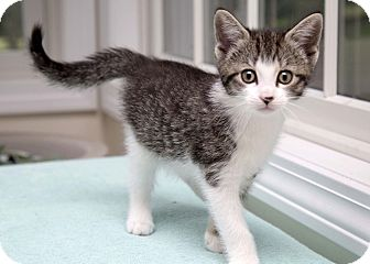 Domestic Shorthair Kitten for adoption in Bristol, Connecticut - Jilly