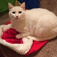 Domestic Shorthair Cat for adoption in Westminster, Colorado - Snow - courtesy listing