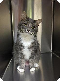Maine Coon Cat for adoption in Richmond, Virginia - Sammy