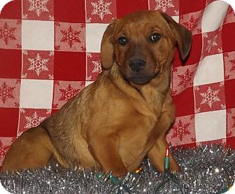 Boxer Puppy for adoption in Danbury, Connecticut - Abel