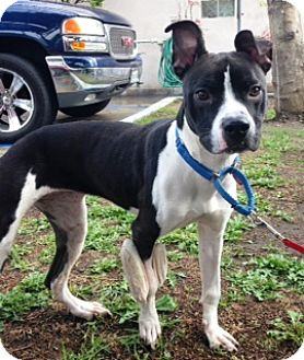 Pit Bull Terrier Mix Puppy for adoption in Los Angeles, California - TINSEL