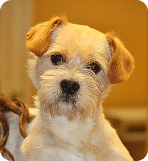 Terrier (Unknown Type, Small)/Lhasa Apso Mix Dog for adoption in Mahwah, New Jersey - Monroe- Adopted!