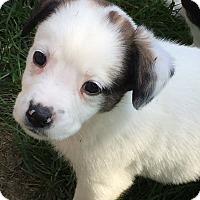Adopt A Pet :: Cartier - Joliet, IL